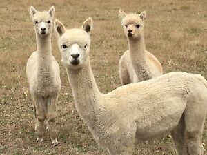 Alpacas Mittagong Bowral Area Preview