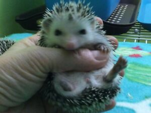 One baby hedgehog left!