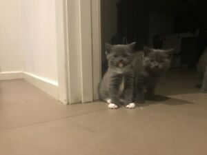 Kittens Russian blue x male