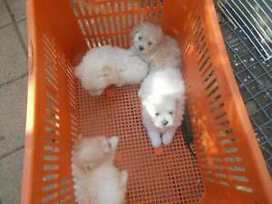 Maltese Shith tzu pups for sale