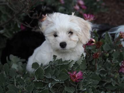Havanese Puppies (low allergenic) Hobart CBD Hobart City Preview