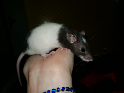 Wanted: YOUNG RATTIES