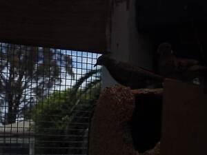 TALPACOTI DOVES Mount Eliza Mornington Peninsula Preview