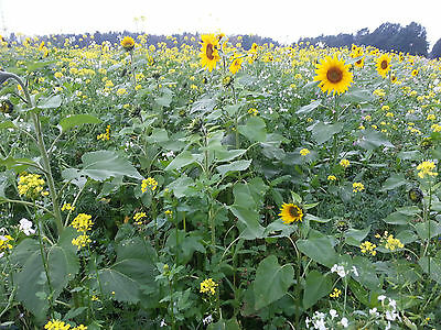10 kg Bienenweide Bunte Mischung Blühstreifen Gründünger Saatgut Bienen
