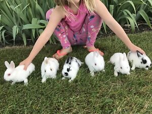 Dwarf Rabbits - ready to go - excellent pet!