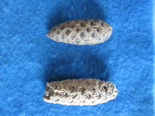 RARE/SCARCE Lot 2  petrified Pine cone Morocco 54-35 million years old RARE!!