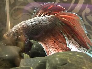 Red and blue betta