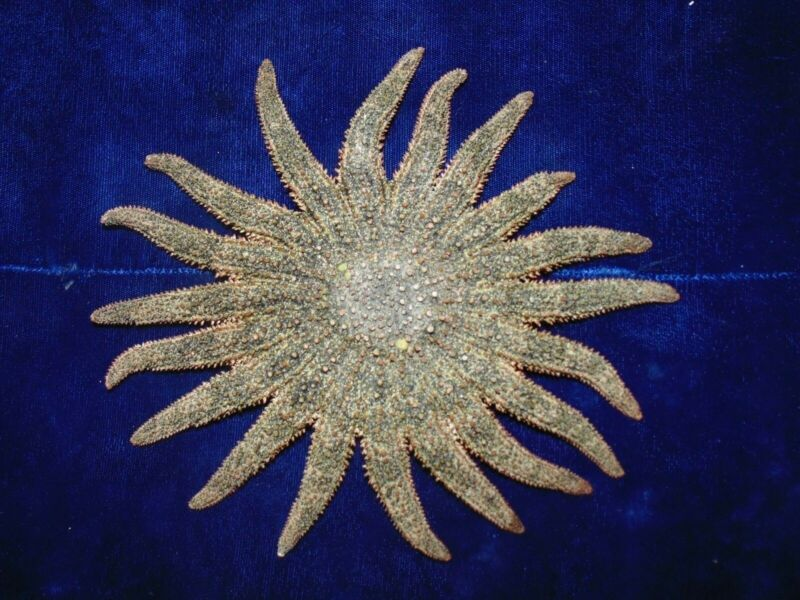 "6-1/2 to 8"" MULTI-LEG STARFISH SEA SHELL BEACH DECOR TROPICAL REEF CRAFTS"