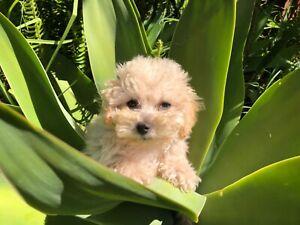 Beautiful Bichoodle Puppies