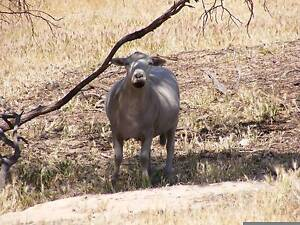 wiltipole sheep Kanmantoo Mount Barker Area Preview