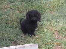 toy poodle male Killarney Southern Downs Preview