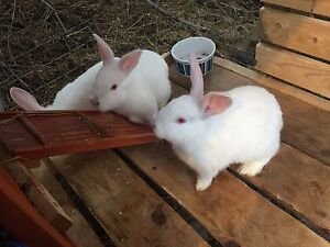 Baby Bunnies for sale $35