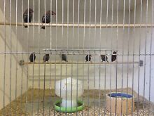 Finches Canaries Doves and Quail Rooty Hill Blacktown Area Preview