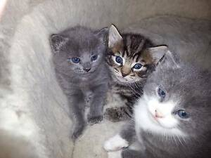 3 Kittens $20 each Enfield Port Adelaide Area Preview