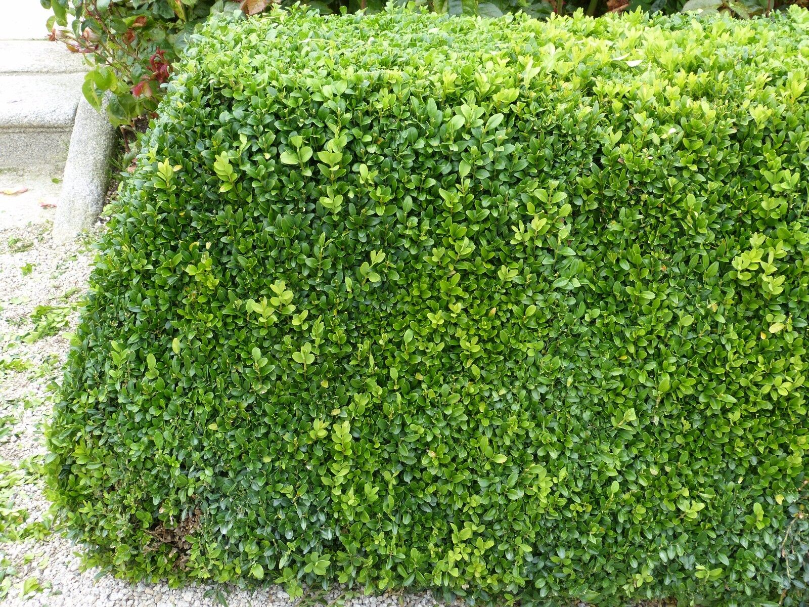 Buxus Sempervirens,15-20cm In 9cm Pots Evergreen Hedging Plants 7 Common Box