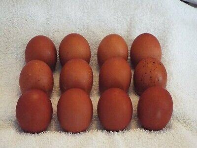 12 Black Copper Maran Hatching Eggs