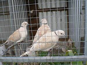 Ring neck doves George Town George Town Area Preview