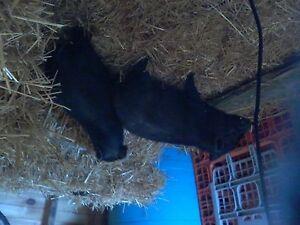 1 pot belly pig left!!