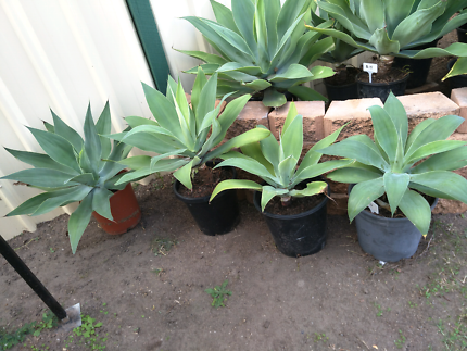 Agaves potted different sizes