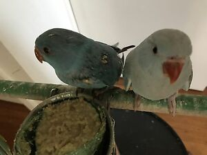 Baby Indian ring neck for sale $150 each Noble Park Greater Dandenong Preview