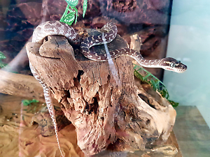 Rough Scale Python Gympie Gympie Area Preview