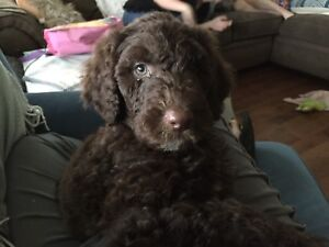Standard Poodle Puppies/2 boys 1 girl Available Now