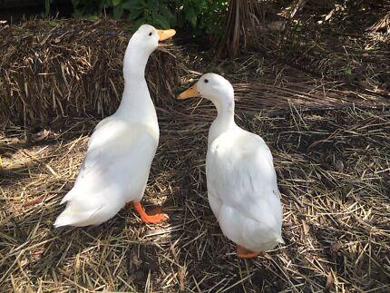 A pair of Pekin ducks