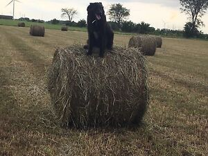 2017 small round bales Timothy hay for sale