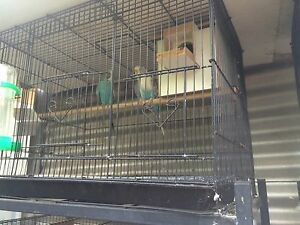 Breeding pairs of budgies Macquarie Links Campbelltown Area Preview