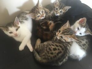 6 kittens available to good homes 4 females and 2 males. Telarah Maitland Area Preview