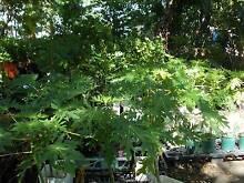 PLANTS PAW PAW  BANANA  DRAGON FRUIT  GUAVAS  LONGAN  BLUEBERRY Maida Vale Kalamunda Area Preview