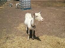 milking goat and 2 kids Tullamarine Hume Area Preview