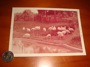 1973-Singapore-Zoo-3-R-Color-Photograph-View-of-A-Flock-of-Flamingos
