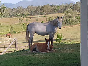 Welsh X Filly Sandy Creek Somerset Area Preview