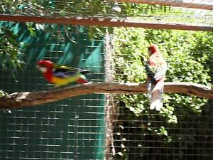Breeding pair mutation eastern rosellas for sale Balaklava Wakefield Area Preview