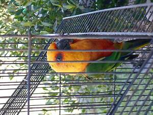 Jenday conure for sale Bonalbo Kyogle Area Preview