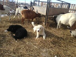 Great Pyrenees x pups