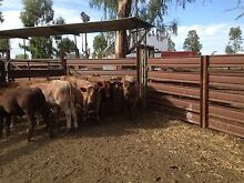 Euro x Steers Bective Tamworth Surrounds Preview