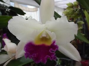 Cattleya orchid plant, scented, large flowers, FS