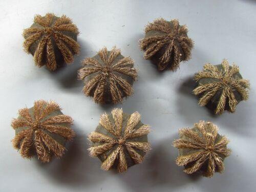 Sea urchin test 38-42mm - 7pcs