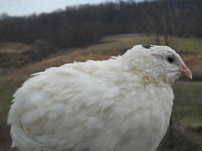 60 Kingswhite Jumbo White Coturnix Quail Hatching Eggs