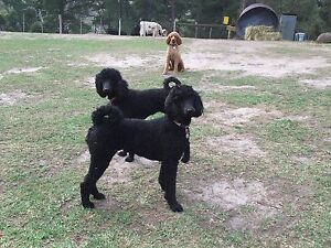 STANDARD POODLES 2 years old (2 females de-sexed) Upper Plenty Mitchell Area Preview