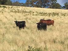 Angus cross steers Kurrajong Hawkesbury Area Preview