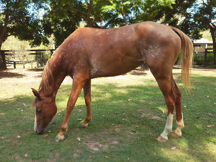 3 YR OLD APPY X FILLY!