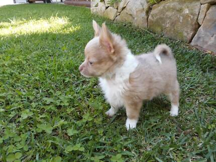 Chihuahua puppies, teacup / blue READY NOW Mangrove Mountain Gosford Area Preview