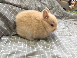 Purebred Netherland Dwarfs-pedigrees available