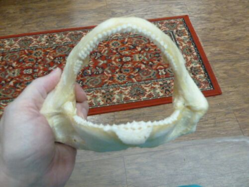 """(sj275-40-1) 7"""" Tawny Nurse SHARK jaw species carpet sharks I love jaws teeth"""