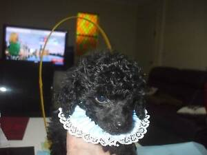 POODLE PUREBRED  TOY Beresfield Newcastle Area Preview