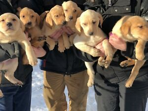 Yellow- Fox Red Purebred lab puppies ready to go home