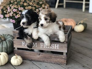 Aussiedoodle Puppies.  Non-Shedding Hypoallergenic